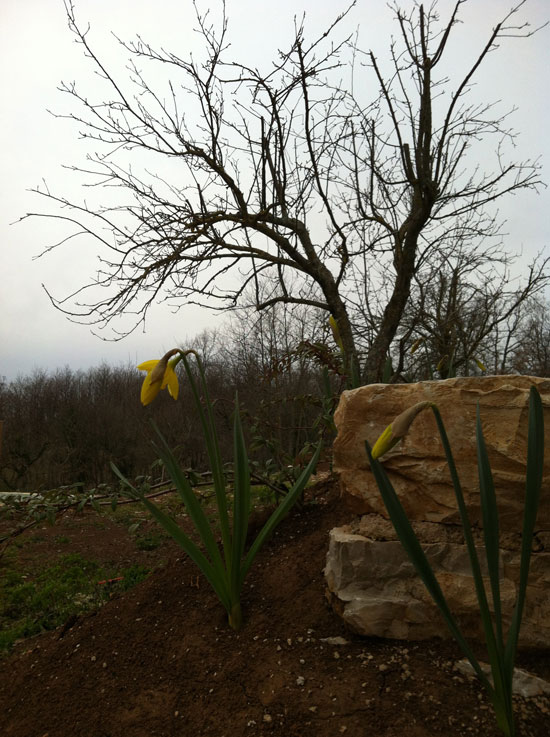 Pruned apple trees and daffodils fighting winter