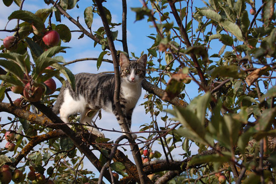 Mju Mju hunting for apples