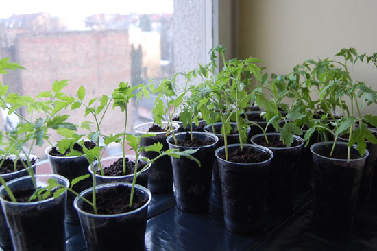 Tomato plants – pretty much ready to be planted outdoors