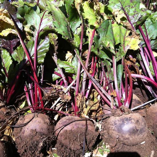 Beetroot likes lots of rain