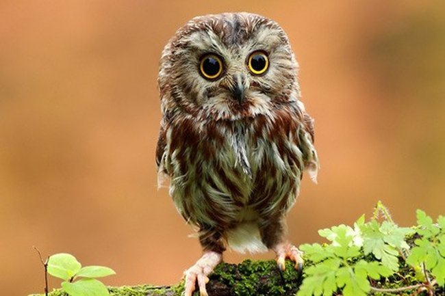 small-european-owl