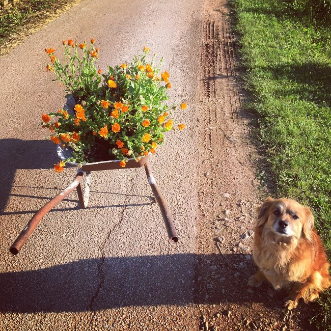 miki-marigolds