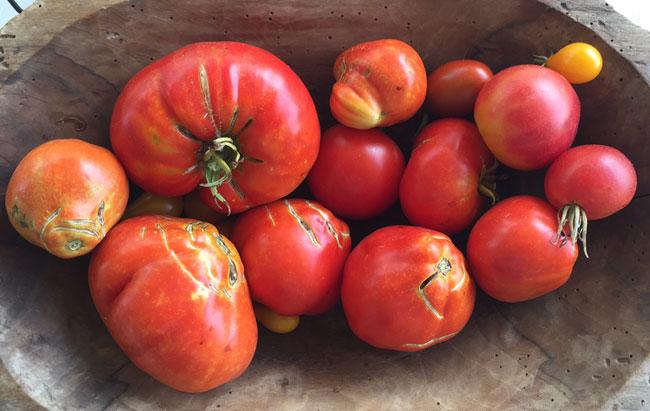 Pruga tomatoes 2017