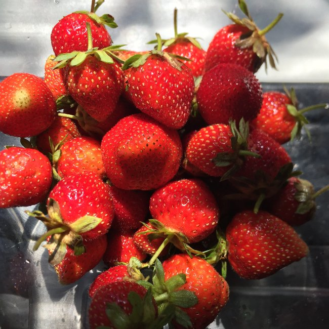 Strawberries in August